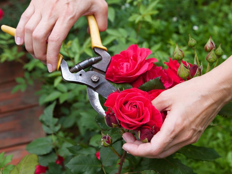 Consigli garden sitter giardiniere a torino progetto for Potatura delle rose